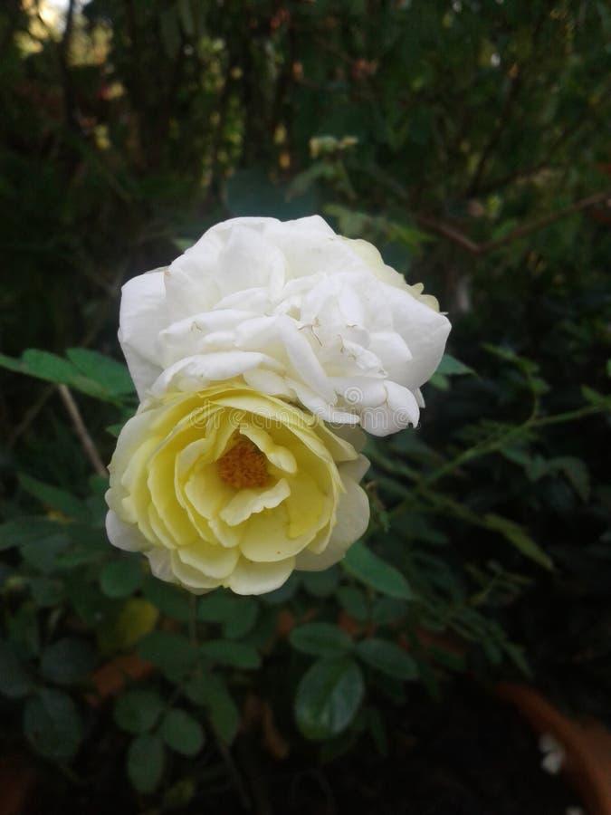 Vit blomma och gul blomma royaltyfria foton