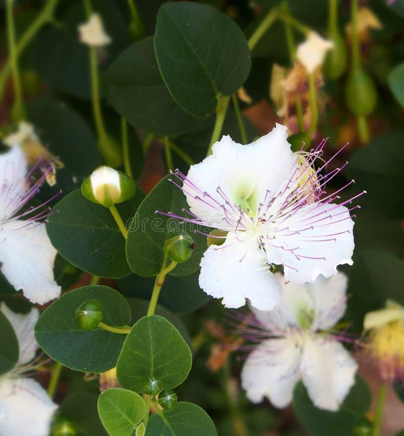 Vit blomma och knoppar av kapris royaltyfri foto