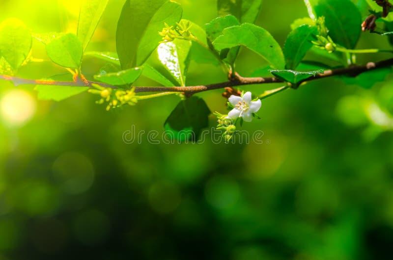 Vit blomma och nya gröna sidor i trädgården arkivbild