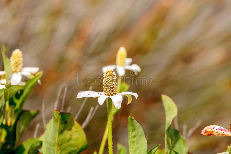 Vit blomma på den Yerba mansaväxten, Anemopsiscalifornica arkivfoto