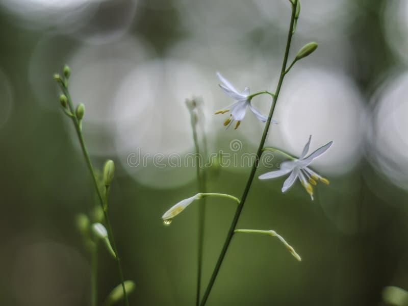 Vit blomma på en hög stjälk på en suddig naturbakgrund royaltyfria bilder