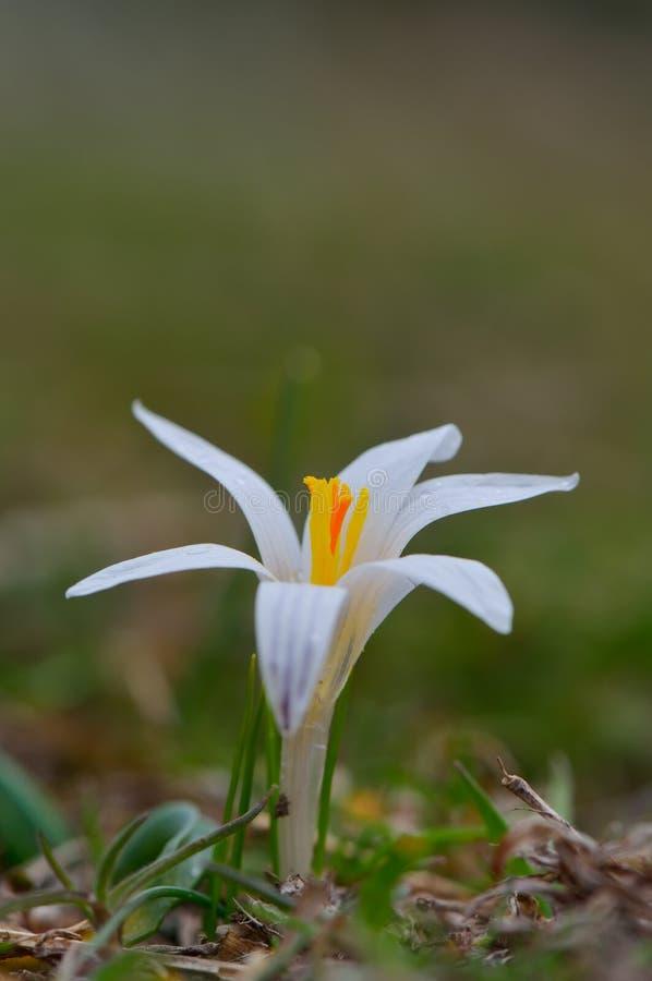 Vit blomma på fält arkivfoto
