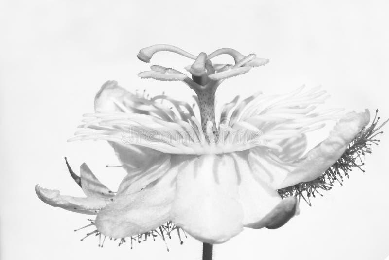 Vit blomma på vit vektor illustrationer