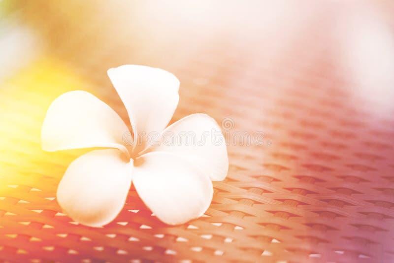 Vit blomma, signal för färg för tappning för läcka för plumeriablomma härlig klassisk ljus royaltyfri fotografi