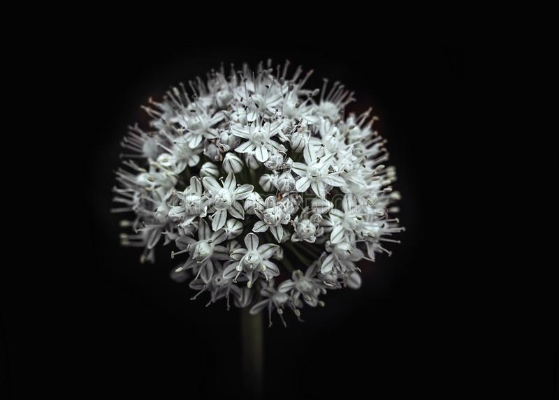 Vit blommande lök som isoleras på svart bakgrund, makroslut upp Fluffig boll för blomma Blomma grönsaken arkivfoton