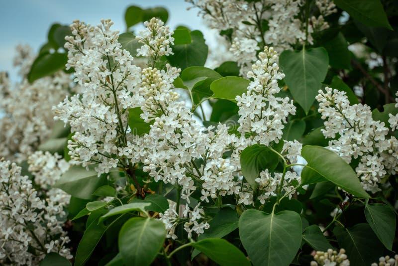 Vit blommande lila närbild Härliga vita syringablommor på en grön bakgrund Lila mot himlen Trädgårdväxter och arkivbilder