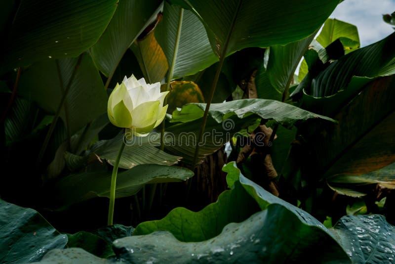 Vit blommande lotusblomma arkivfoto