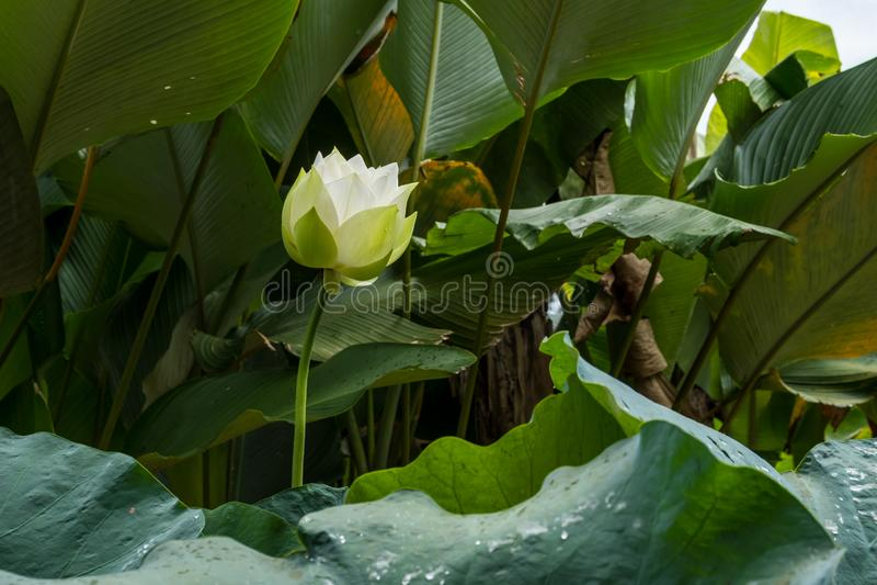 Vit blommande lotusblomma royaltyfri bild