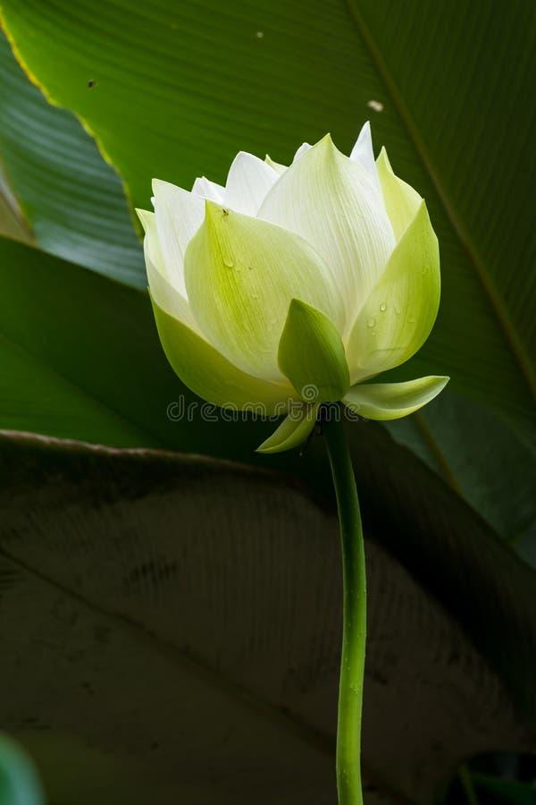 Vit blommande lotusblomma arkivfoton