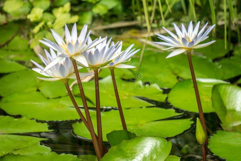 Vit blommar waterlily på sjön fotografering för bildbyråer
