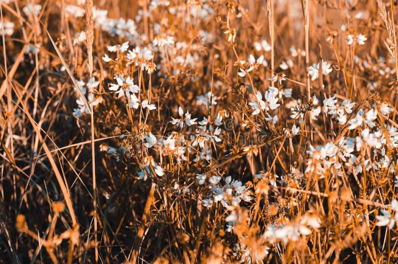 Vit blommor och monophonic, gräs i varma signaler arkivfoton