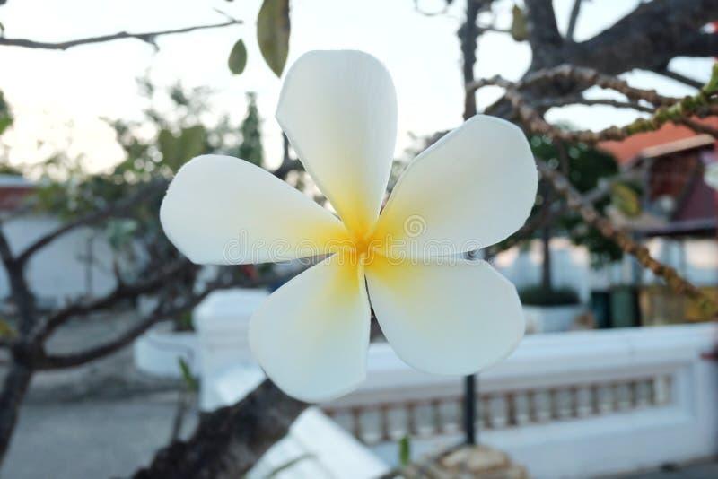Vit blomning för plumeriablommablomning i botanisk trädgård royaltyfri bild