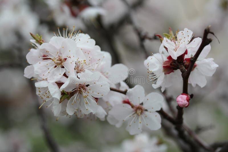 Vit blomning i theetr?dg?rd fotografering för bildbyråer