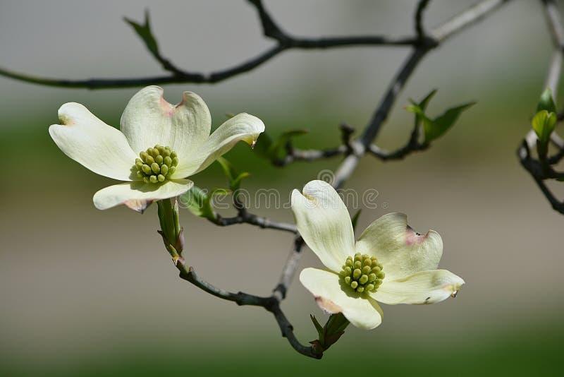 Vit blomningDogwood royaltyfri foto