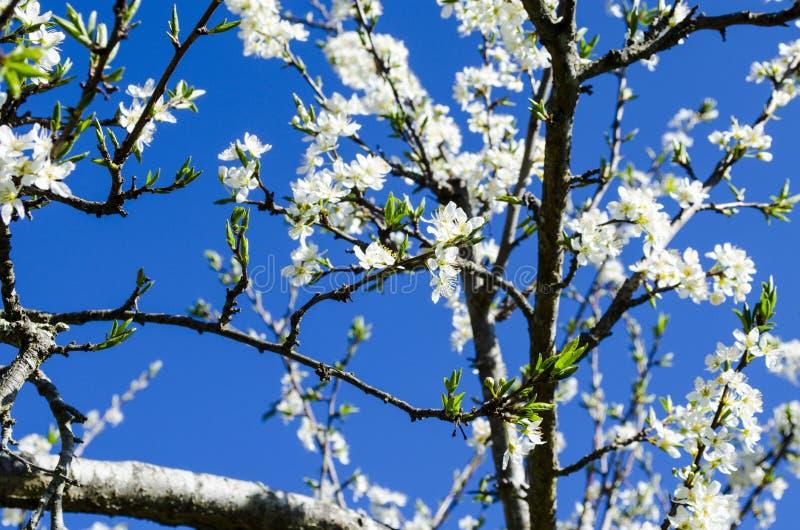 Vit blomstrar mot en klar blå himmel royaltyfri foto