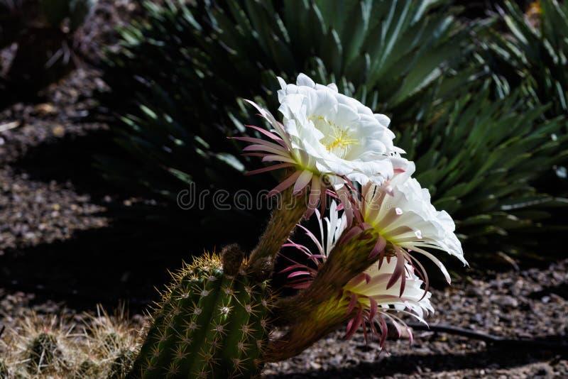 Vit blomstrar på den argentinska jätte- kaktuns från Sydamerika; desertera jordning och andra suckulentväxter i bakgrunden arkivbild