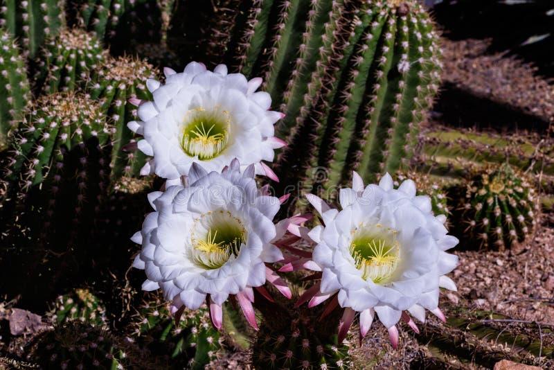Vit blomstrar på den argentinska jätte- kaktuns från Sydamerika; desertera jordning och andra suckulentväxter i bakgrunden royaltyfri foto