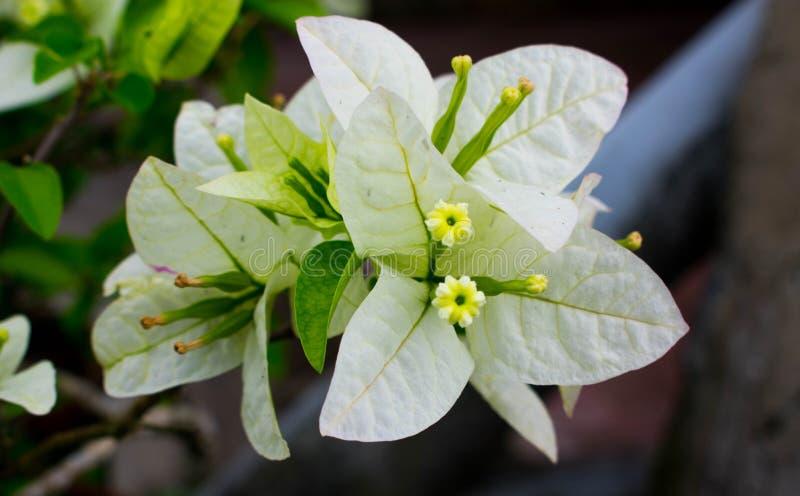 Vit bougainvilleablomma, taggiga dekorativa vinrankor med Blomma-som vårsidor royaltyfri bild