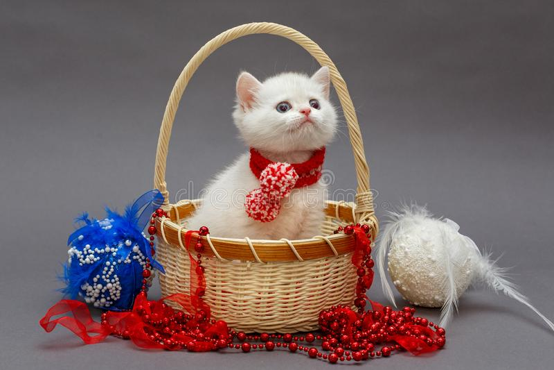 Vit brittisk kattunge i en korg fotografering för bildbyråer