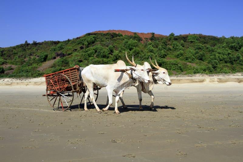 Vit buffel som dras till en vagn som går på den sandiga kusten royaltyfri fotografi
