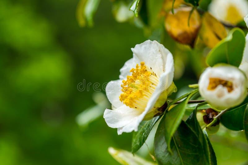 Vit camellia fotografering för bildbyråer