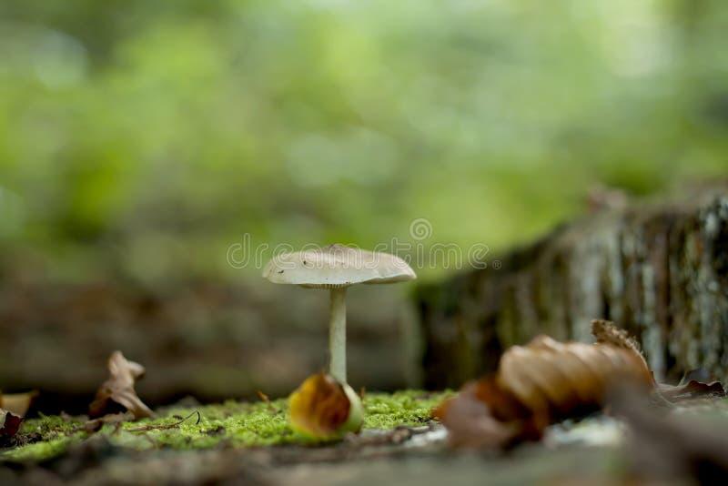 Vit champinjon som växer på en höstskog fotografering för bildbyråer