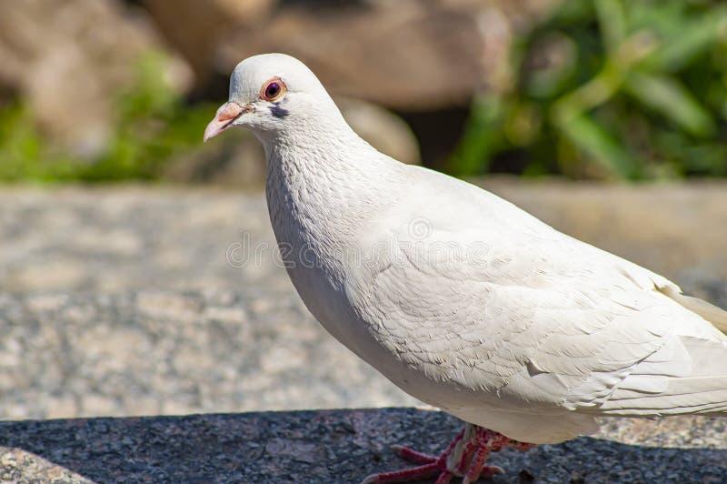 Vit duvafågel på granitmoment royaltyfria foton