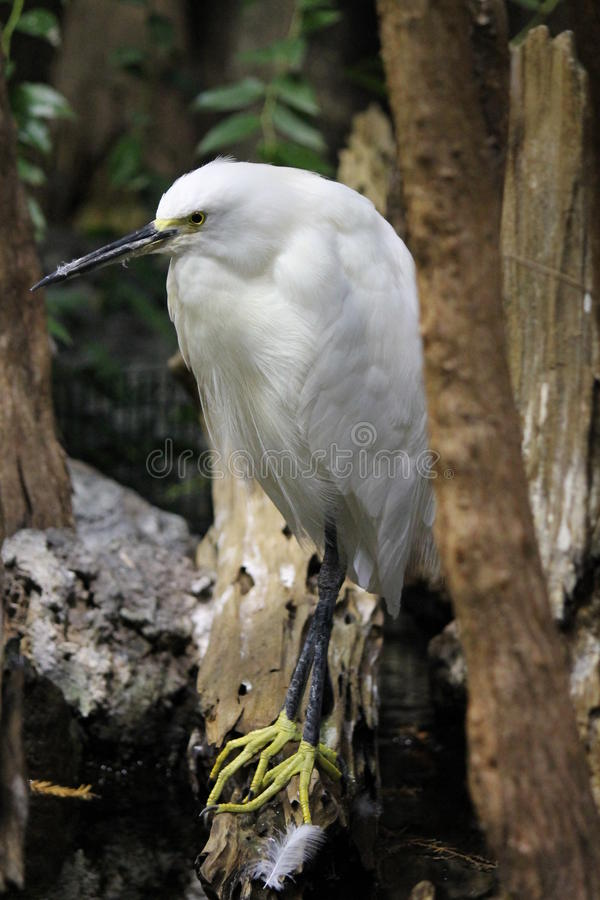 vit egret royaltyfri fotografi