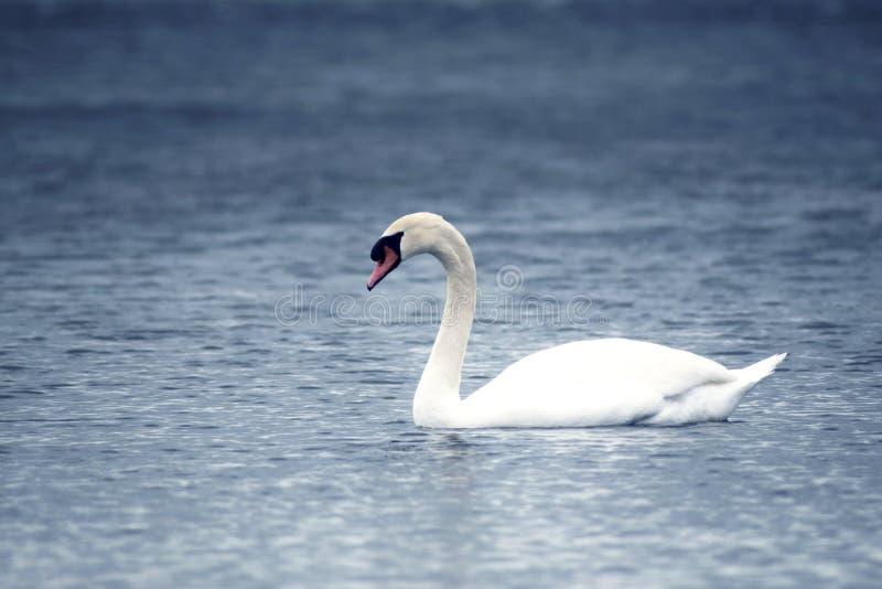 Vit elegant svan i en sjö arkivfoton
