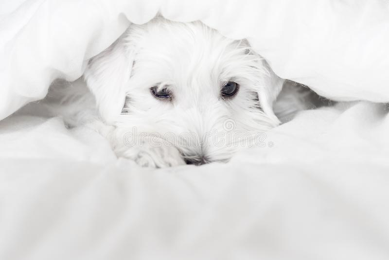 Vit en stilig valp ser ut från vita filtar Muzzle söta sovmarionett ser ut under filten arkivbilder