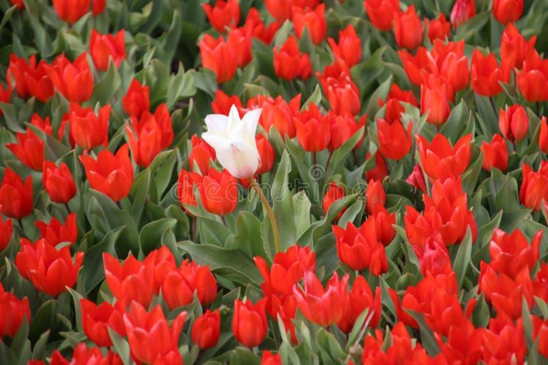Vit enkel tulpan mellan röda tulpan i rader på fält för blommakula i Noordwijkerhout i Nederländerna royaltyfria bilder