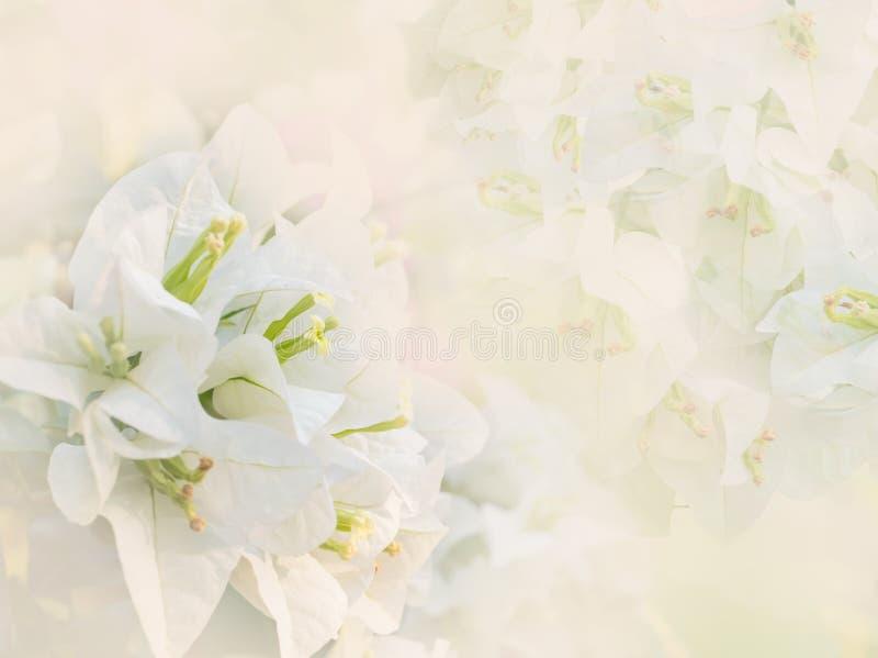 Vit färg av pappers- eller bougainvilleablommor royaltyfria foton