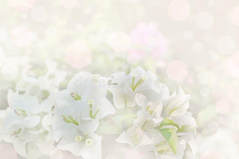 Vit färg av pappers- eller bougainvilleablommor royaltyfri foto