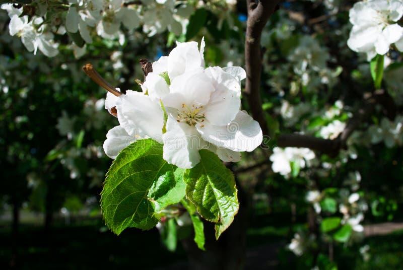 Vit färgat kräm- äpple härlig blommafjäder royaltyfria bilder