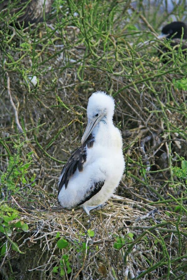 Vit fågelungefrigatefågel på filialen fotografering för bildbyråer