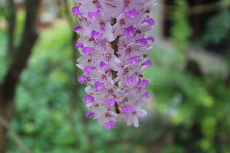 Vit för Foxtailorkidé blomma för lilor och arkivfoto