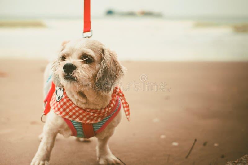 Vit för Shih för kort hår hund tzu med cutely kläder och den röda koppeln på stranden royaltyfria bilder
