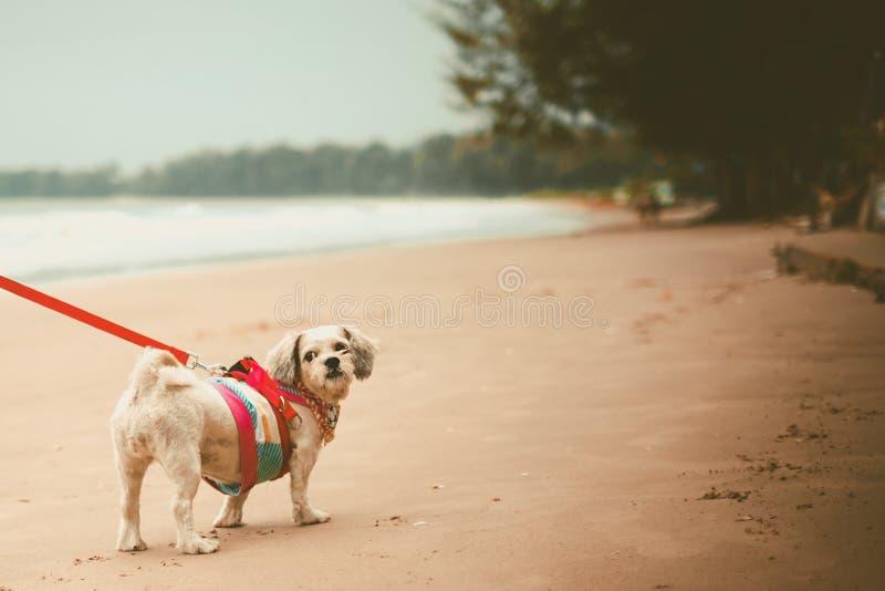 Vit för Shih för kort hår hund tzu med cutely kläder och den röda koppeln på stranden arkivbilder