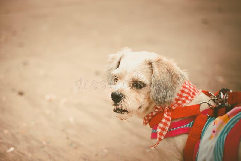 Vit för Shih för kort hår hund tzu med cutely kläder på stranden fotografering för bildbyråer