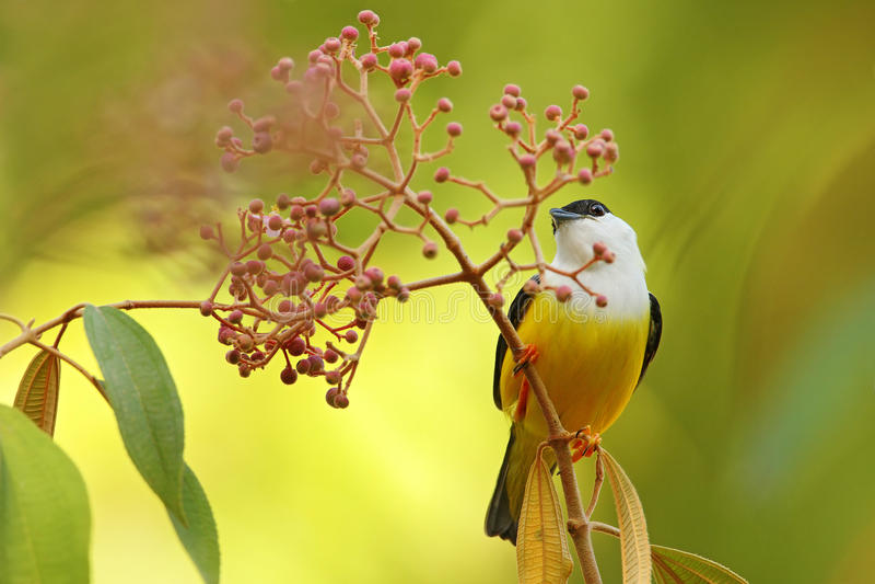 Vit-försåg med krage Manakin, Manacus candei, sällsynt bizar fågel, Nelize, Central America Skogfågel, djurlivplats från naturen  arkivbild