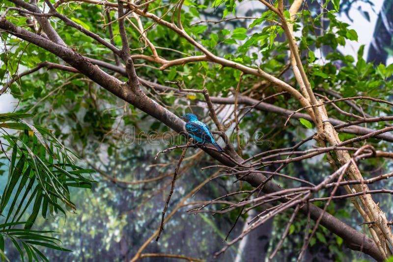 Vit försedd med krage kungsfiskareTodiramphus chloris i zoo Barcelona royaltyfria foton