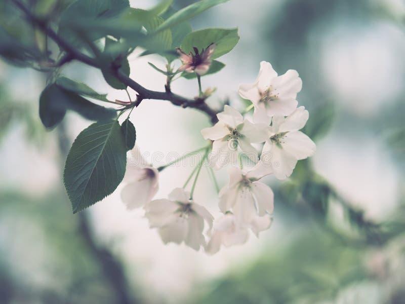 Vit fem-petaled blommaklunga fotografering för bildbyråer