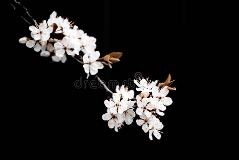 Vit filial av ett blomma Apple tr?d p? en m?rk bakgrund t?ta blommor f?r ?pple upp De k?rsb?rsr?da blomningarna p? en svart bakgr arkivbild