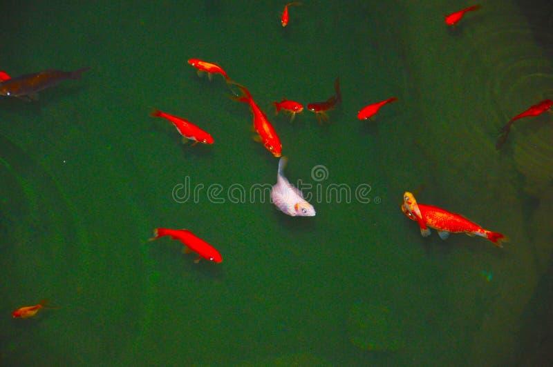Vit fisk bland några röda andra vektor illustrationer