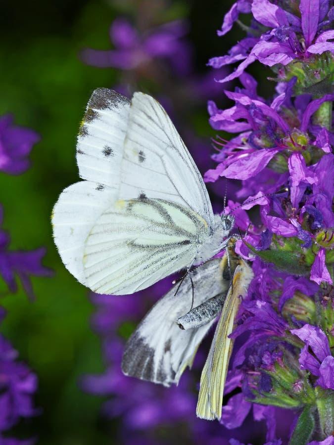 Vit fjäril arkivbild