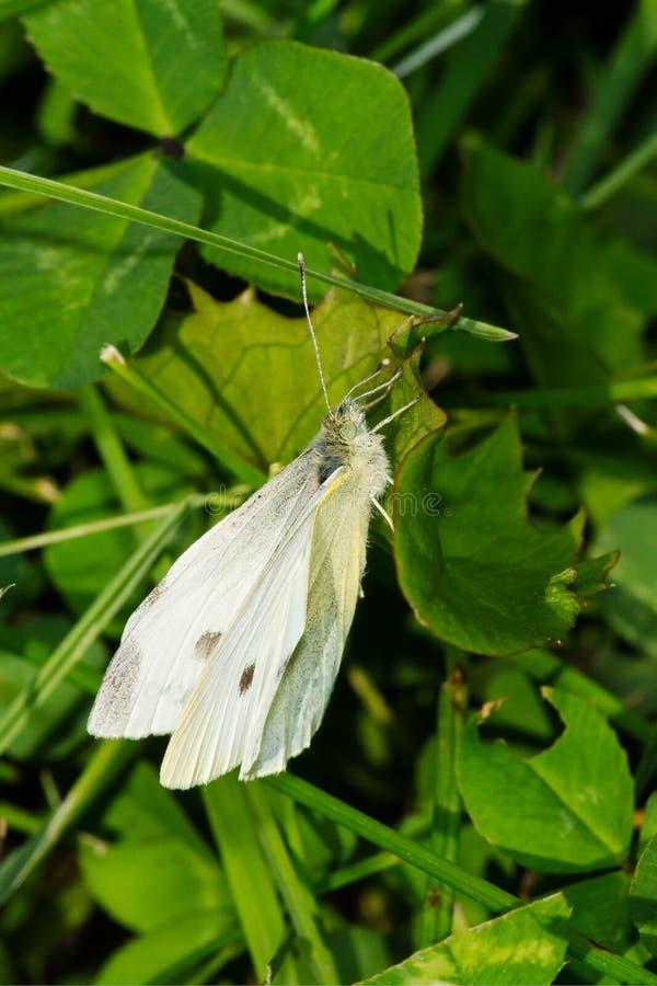 Vit fjäril för kål - Pierisrapae royaltyfri foto