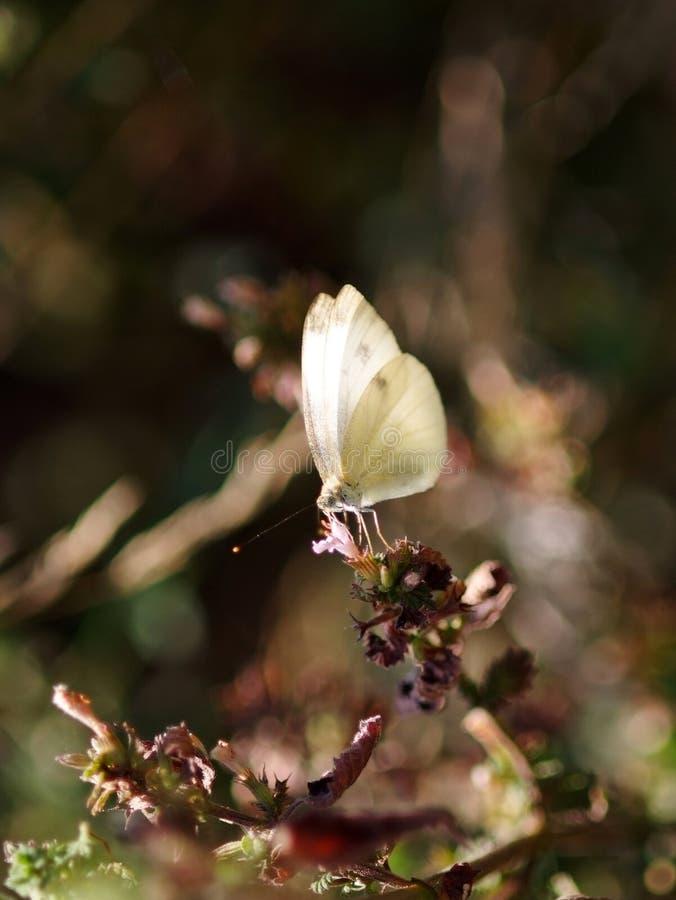 Vit fjäril på en uttorkningstjälk av en blommaby som vilar fotografering för bildbyråer