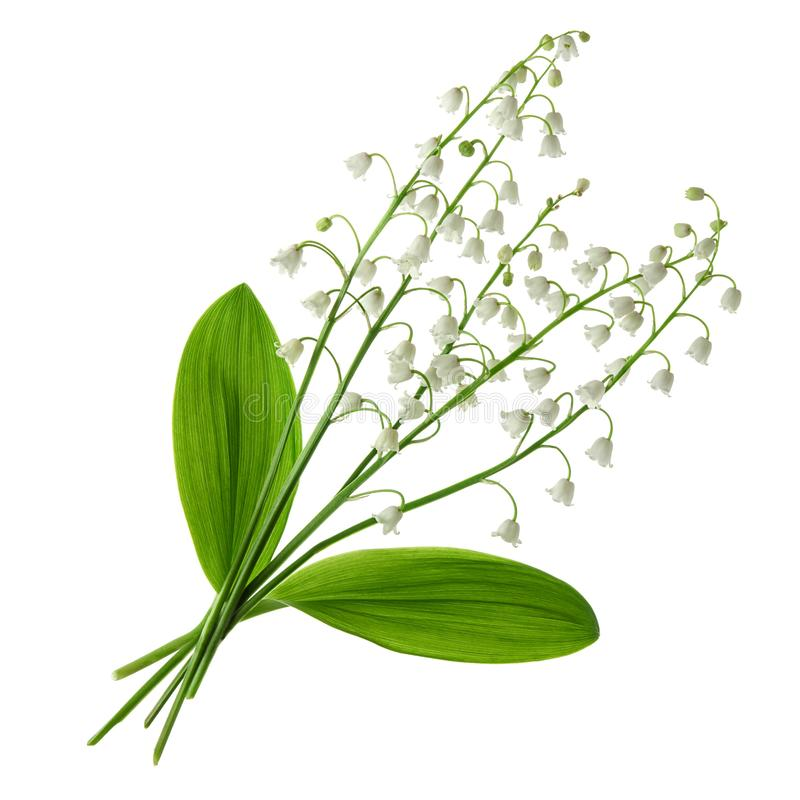 Vit fj?drar blommor Liljekonvaljblommabukett med gröna sidor som isoleras på vit bakgrund royaltyfri fotografi