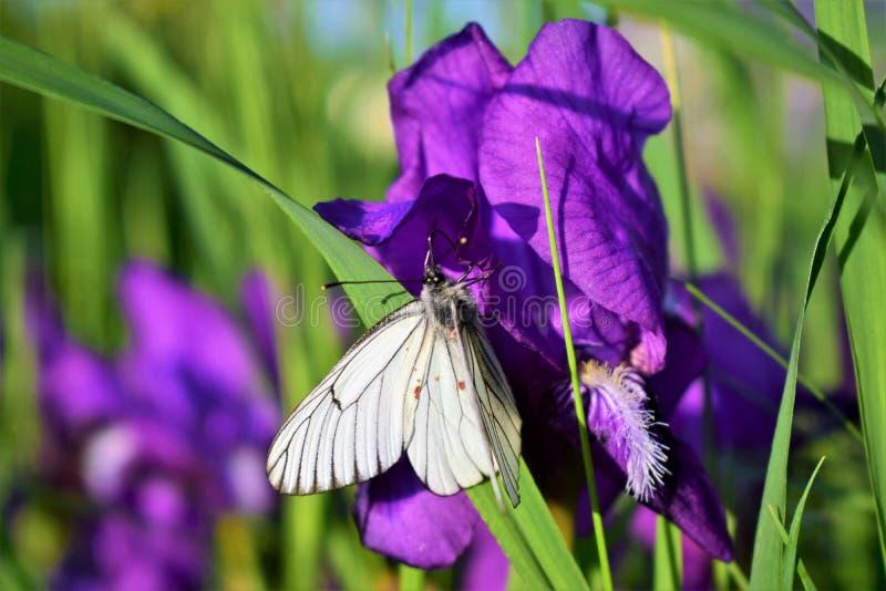 Vit fj?ril p? en purpurf?rgad blomma arkivbild