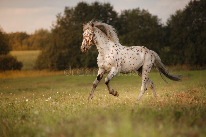 Vit fläck i hästen royaltyfria foton